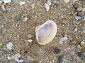Bivalvia seashell at Tenneti park beach.JPG