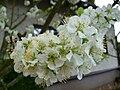 Blüten eines Apfelbaums.JPG
