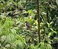 Black-capped Robin Heteromyias armiti (2) (48842512897).jpg