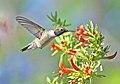 Black-chinned Hummingbird, Arizona 03.jpg