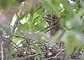 Black-crowned Night-Heron chicks from 7 11 19 (48282587441).jpg