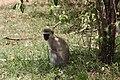Black-faced Vervet Monkey (7513573414).jpg