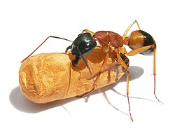 Black-headed sugar ant.jpg