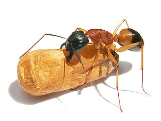 Banded sugar ant Species of ant
