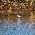 Black-winged stilt pond near Burke River Boulia Queensland P1030815.jpg