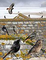 Black Redstart from the Crossley ID Guide Britain and Ireland.jpg