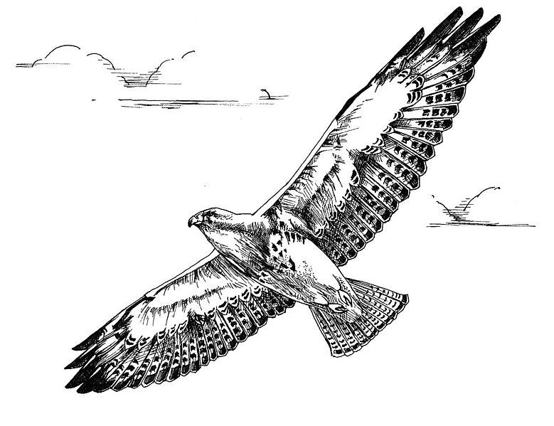 File:Black and white line art drawing of swainson hawk bird in flight.jpg
