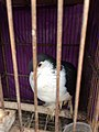 Black and white pigeon in Jatinegara Market 02.jpg