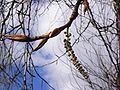 Black cottonwood male catkin and leaf buds.JPG
