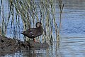 Black duck milford audubon (29368154141).jpg