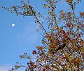 Blackbird in hawthorn - geograph.org.uk - 1091885.jpg
