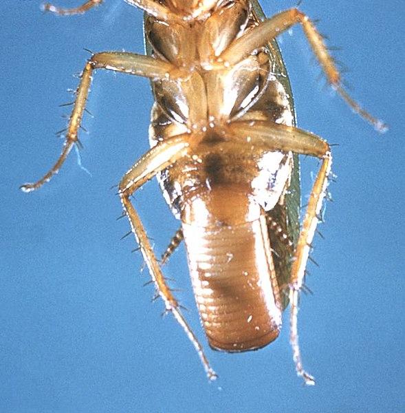 Ficheiro:Blatella germanica cdc.jpg