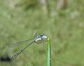Blaue Libelle01.jpg