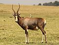 Blesbok, Damaliscus pygargus phillipsi, at Krugersdorp Game Reserve, Gauteng, South Africa (26872993194).jpg
