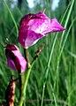 Bletia campanulata flor - cropped.jpg