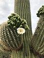 Blooming Saguaro.jpg