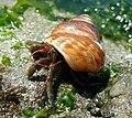 Blue-banded Hermit Crab crop.jpg