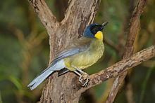 Blue-crowned Laughingthrush 10.jpg