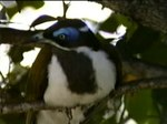 Fil:Blue-faced Honeyeater dayb95.ogv