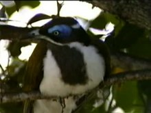 File:Blue-faced Honeyeater dayb95.ogv