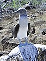 Blue-footed Booby (47002777404).jpg