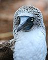 Blue-footed Booby (4884592769).jpg