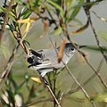 Blue-gray Gnatcatcher (11160178346).jpg
