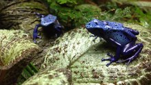 File:Blue-poison-frog-720p.webm