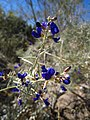 Blue Flower Anza-Borrego.jpg