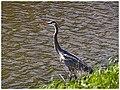 Blue Heron - Flickr - pinemikey.jpg