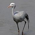 Blue crane, Grus paradisea, the national bird of South Africa (38041637054).jpg