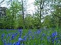 Bluebells-Wanstead Park - geograph.org.uk - 787467.jpg