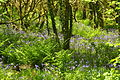 Bluebells in Draynes Wood (4033).jpg