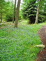 Bluebells in Kirroughtree Forest - geograph.org.uk - 431949.jpg