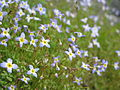 Bluets near the Mount Mitchell summit (7651433308).jpg