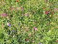Blumenwiese im LSG Großer Heuberg, Stausee Oberdigisheim.jpg