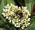 Bombus melanopygus (male) - Flickr - S. Rae.jpg