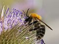 Bombus pascuorum Zurich lateral.jpg
