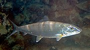 Bonefish Albula vulpes