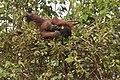 Bornean Orangutan in nest1.jpg