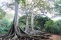 Botanical Gardens Kauai, Hawaii - panoramio (8).jpg