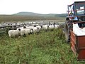 Botany, sheep about to be shorn - geograph.org.uk - 500623.jpg