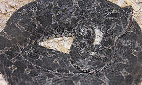 Description de l'image Bothrops ammodytoides.jpg.