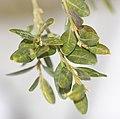 Boxwood Buxus sempervirens var. arborescens Leaves 1798px.jpg