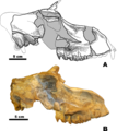 Brachycrus laticeps mooki skull.png