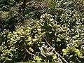 Brachyglottis bidwillii 11.JPG