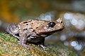 Brachytarsophrys carinense, Burmese horned frog - Khao Sok National Park (29665002586).jpg