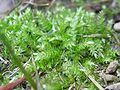 Brachythecium rutabulum.jpeg