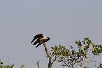 Brahminy take off.jpg