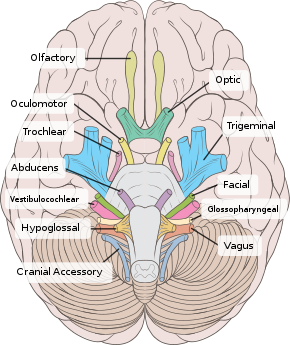 Brain human normal inferior view with labels en.svg